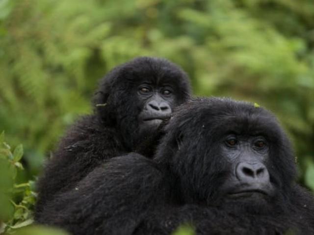 Lista Rossa Iucn: buone notizie per balenottere e gorilla di montagna (VIDEO)
