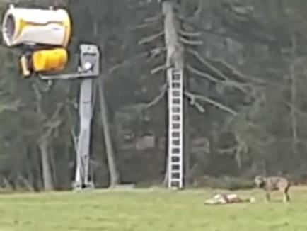 Sulle piste di Plan de Corones un lupo caccia un capriolo e si porta via la preda