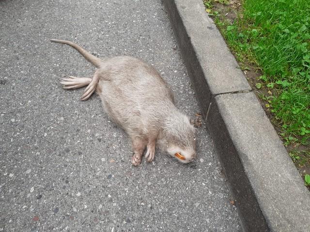 Trovata una nutria morta in centro città a Riva