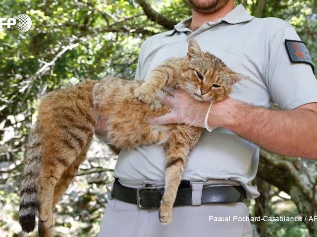 """Da leggenda a realtà: catturato in Corsica il mitico """"gatto-volpe"""""""
