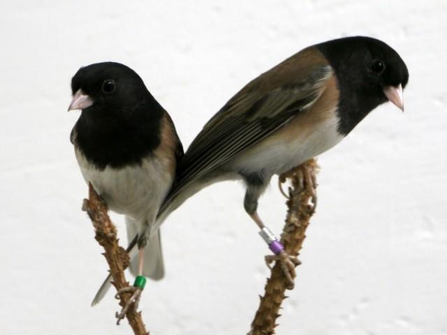 Per l'avifauna i batteri sono fondamentali per comunicare e accoppiarsi