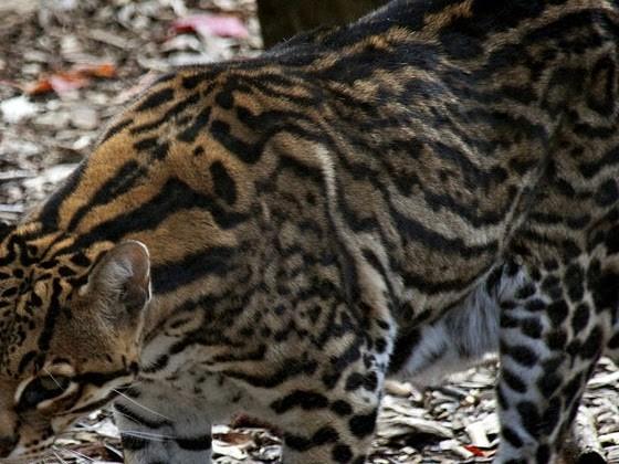 Ocelotto o gattopardo americano (Leopardus pardalis)