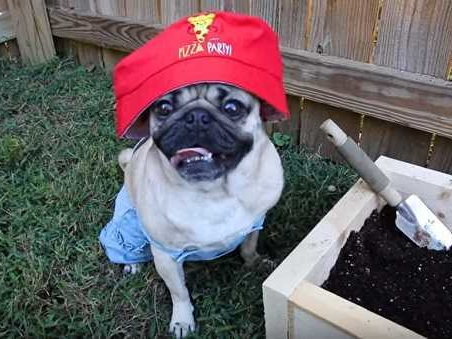 Doug the Pug: il video How to Grow Pizza