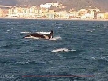 Morto il cucciolo di orca trovato al largo di Genova