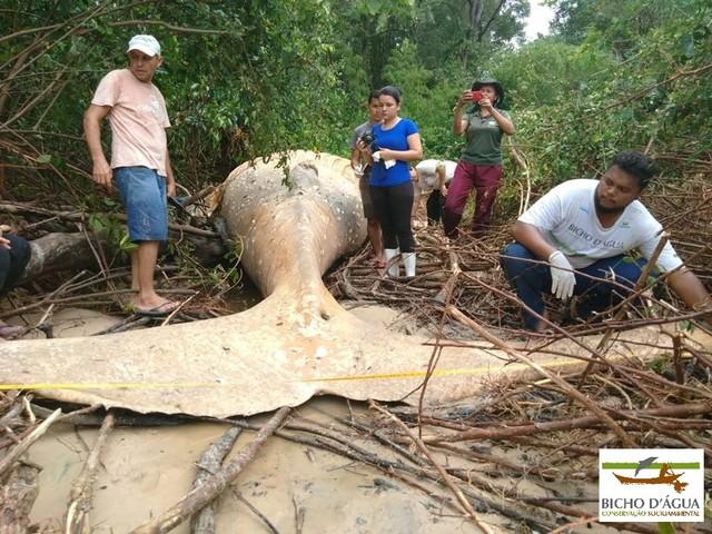 Il mistero della giovane megattera finita in una foresta di mangrovie dell'Amazzonia (VIDEO)