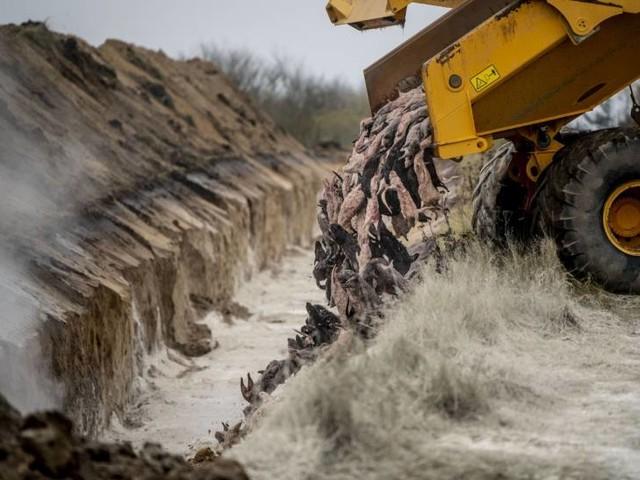 Danimarca, le carcasse dei visoni uccisi riemergono dal terreno