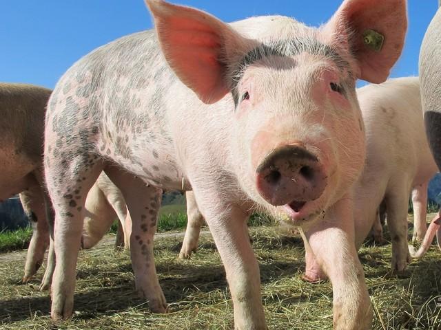 Nelle mense degli asili tedeschi si comincia a vietare la carne di maiale