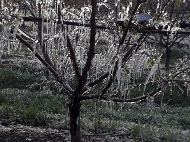 """Neve e gelate mettono ko kiwi, ciliegie, albicocche: """"La Regione è al fianco degli agricoltori"""""""