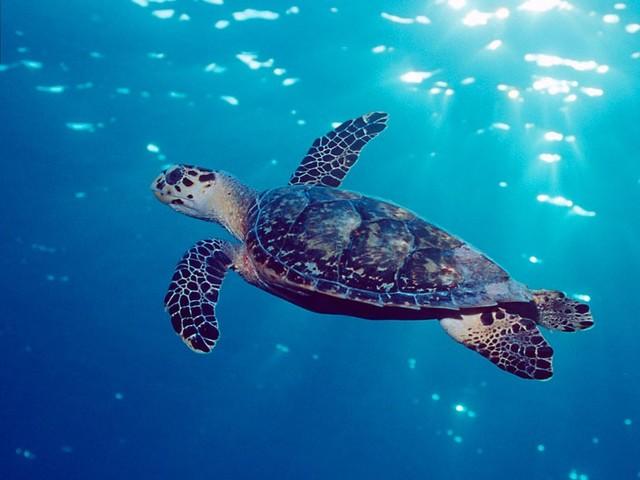 Estratto DNA da prodotti di tartaruga embricata in vendita. Una speranza per salvare le tartarughe marine