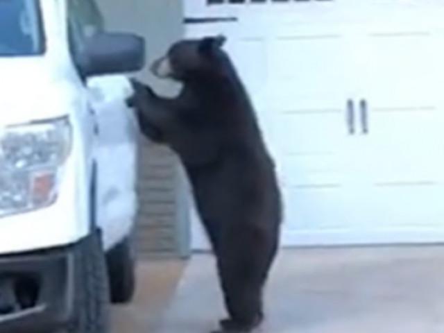 Riprendono in un video un orso che apre un camion, ci sale e chiude la porta alle sue spalle