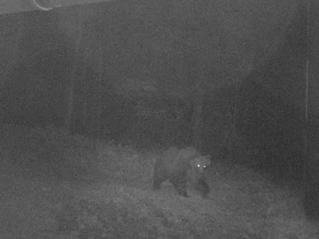 Primo raid dell'orso M49 dopo la fuga, 4 capre sbranate