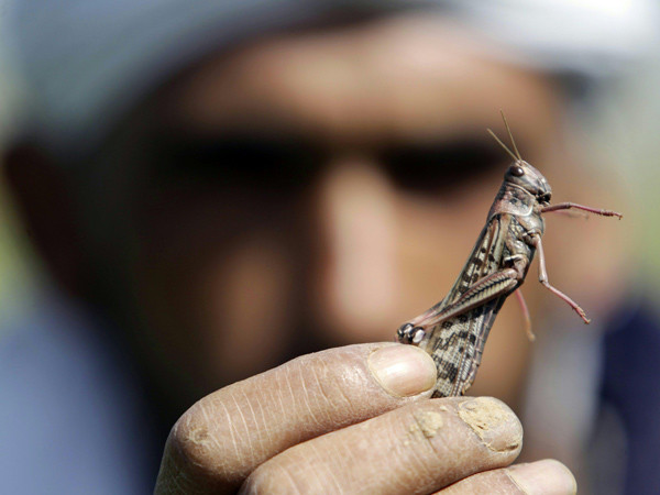 Locuste: la piaga biblica mette in ginocchio l'Egitto