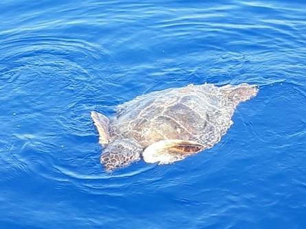 Arpat recupera una tartaruga marina in difficoltà all'Isola d'Elba (FOTOGALLERY)