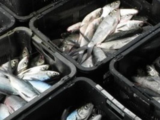 Da oggi scatta il 'fermo pesca' di 30 giorni in tratti dello Ionio e del Tirreno