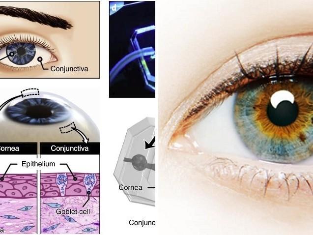 L'occhio da fantascienza su chip: realizzato in 3D con cellule umane, capace di aprirsi e chiudersi