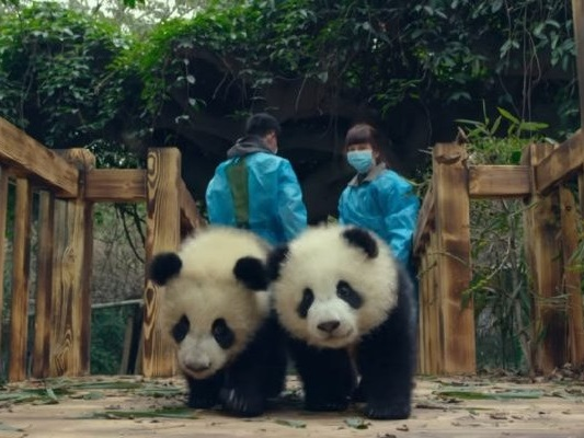 Pandas: l'adorabile trailer del documentario realizzato in IMAX