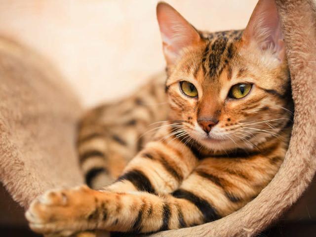 Pulci dei gatti: come eliminarle con i rimedi naturali come aceto, limone e bicarbonato