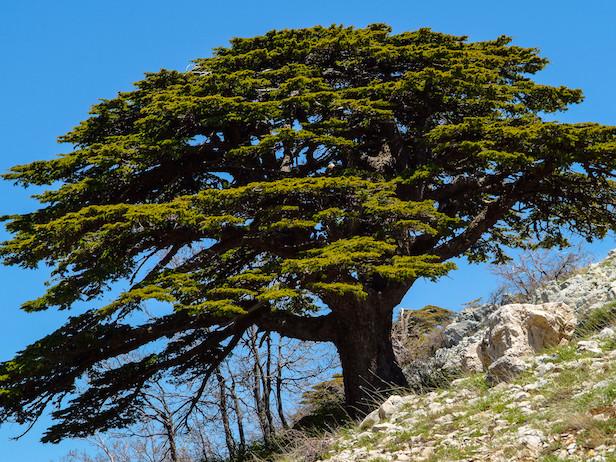 Il cambiamento climatico sta uccidendo i cedri, a partire da quelli del Libano
