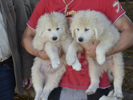 Hanno affogato due cuccioli di maremmano in un fontanile