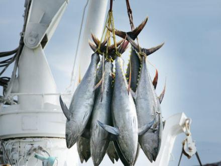 L'81% del tonno pescato arriva da banchi in buona salute, ma restano ancora specie troppo sfruttate. Il rapporto 2019 dell'IFSF