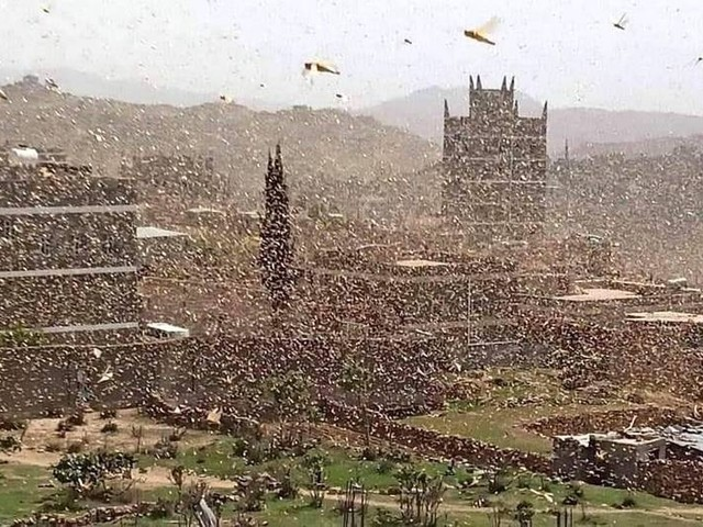 Non c'è pace per gli ultimi. Fao: invasione di locuste in Yemen, a rischio il Corno d'Africa
