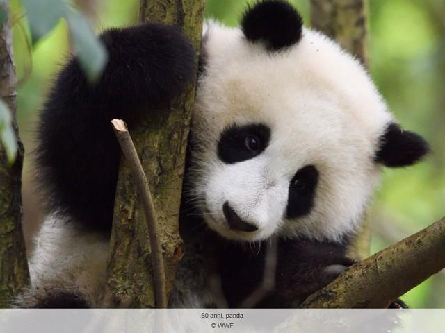 Il Panda compie 60 anni
