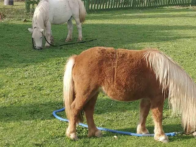 Pony: razze, alimentazione, prezzi e curiosità