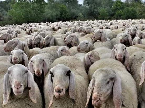 Padova: è il Transumanza Day. Mille pecore invadono il Prato della Valle
