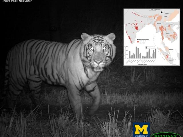 In Asia migliaia di km di nuove strade minacciano l'habitat delle tigri