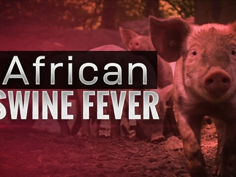 Peste suina africana: in un anno in Asia morti quasi 5 milioni di maiali