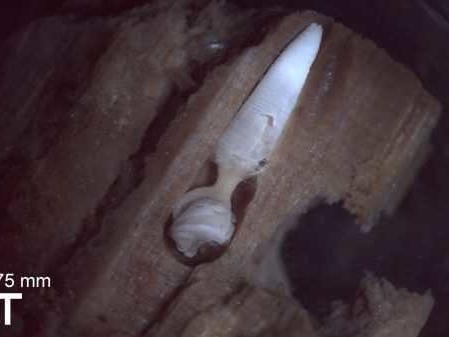Ostriche falliche con trivella, le misteriose termiti dei tronchi abissali