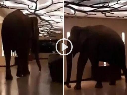 Un grosso elefante si intrufola nell'hotel a cinque stelle