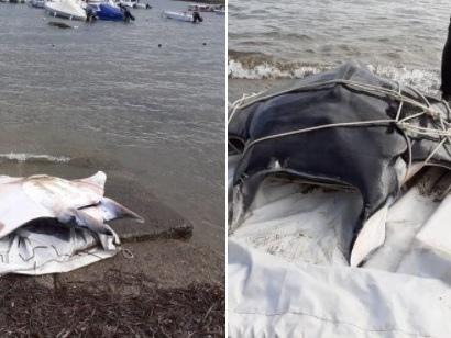 Arpat, è morta la manta mediterranea spiaggiata a Baratti