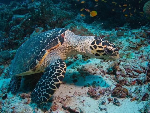 Le tartarughe marine embricate e comuni si incrociano. E potrebbe essere un problema