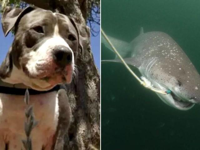 Uomo aggredito da uno squalo, il suo pitbull lo sente urlare e gli salva la vita