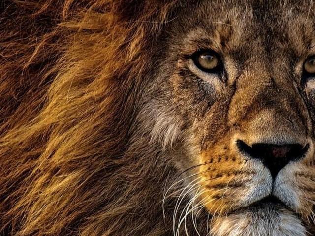 Oroscopo dicembre, Leone: decisioni da prendere in amore, più guadagni in arrivo