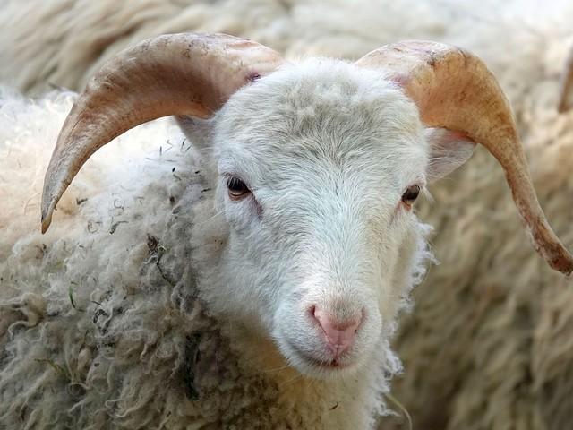 India, la moglie se ne va e il marito ha diritto a 71 pecore