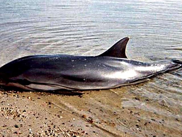 Toscana: da inizio anno 28 delfini spiaggiati, 11 in un mese