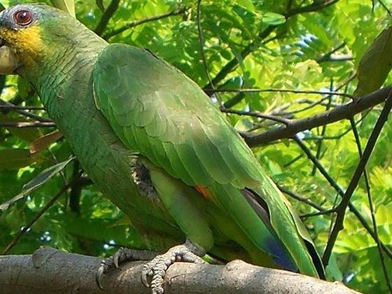 Amazzone ali arancio (Amazona amazonica)