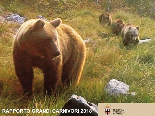 Comprendere le diverse personalità degli orsi bruni per ridurre i conflitti con le persone