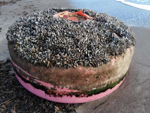 Boe e polistirolo sulla spiaggia della Sterpaia , la denuncia di Legambiente