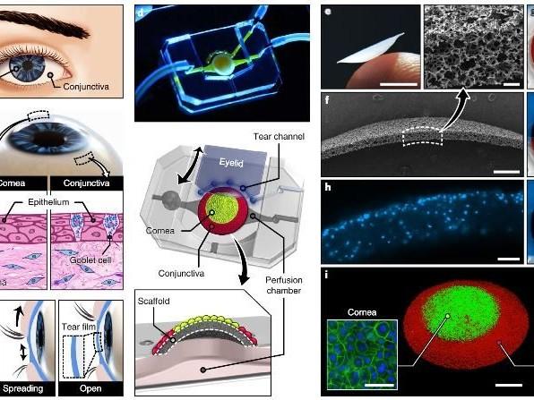 Creato occhio artificiale in 3D con cellule umane: può persino ammiccare