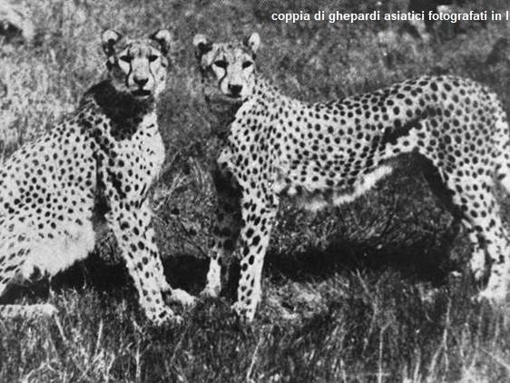 Ghepardi dall'Africa all'India per ripopolare il Nauradehi Wildlife Sanctuary