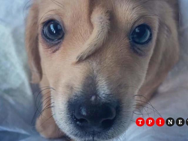 """Minacce di morte a Narwhal, il cane unicorno. L'associazione che lo ha trovato blocca le adozioni: """"Siamo preoccupati, resterà con noi"""""""