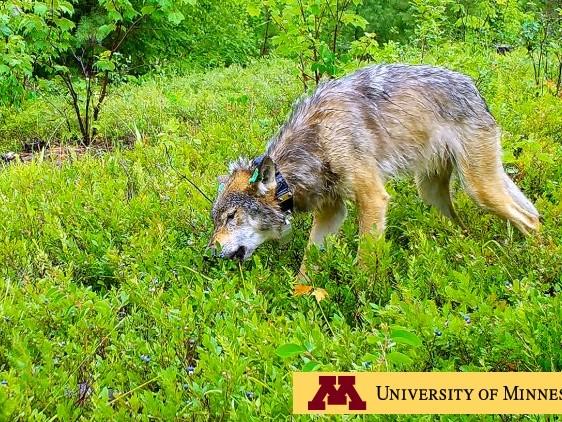 I lupi mangiano mirtilli (VIDEO)