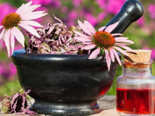 Echinacea: l'erba officinale che aiuta il sistema immunitario