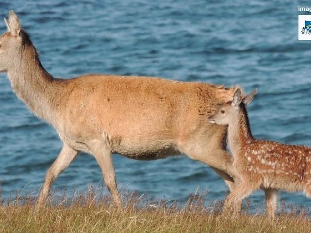 In Scozia i cervi si stanno evolvendo per partorire prima in un clima più caldo