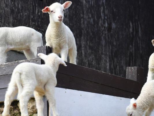 Quanta carne di capretto e di agnello si consuma in Italia (non solo a Pasqua)
