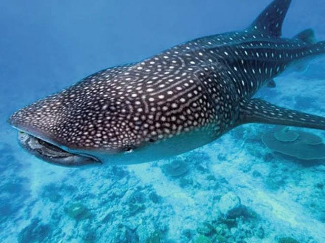 """""""Lo squalo balena può vivere più di 50 anni"""""""