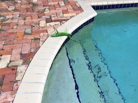 """Meteo USA: freddo record in Florida, allerta per """"pioggia di iguane"""""""